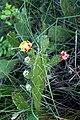 Opuntia ficus-indica flower, Saptari (1).jpg