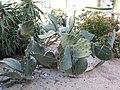 Opuntia ficus-indica var. monstruosa 2.jpg