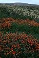 Orange Mimulus along the Burn of Northdale, Fetlar - geograph.org.uk - 699287.jpg