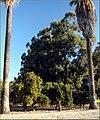 Orange Trees, Citrus and California 2-24-13a (8536495001).jpg
