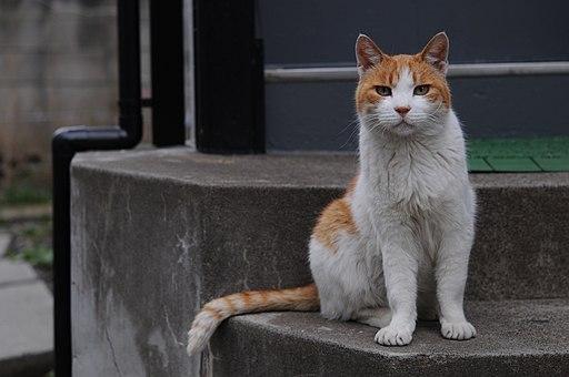 Orange and white tabby cat with the impressive tail-Hisashi-01