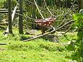 Orangutan - Madju Auckland Zoo.JPG