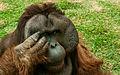 Orangutan in São Paulo Zoo.jpg