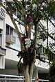 Orchidee su alberi a leblon.JPG