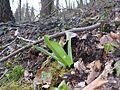 Orchis purpurea 14.JPG