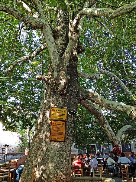 File:Oriental Plane tree - Platanus orientalis - Doğu Çınarı, Arslanköy 01.JPG