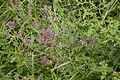 Origanum vulgare bray-sur-somme 80 25062007 2.jpg