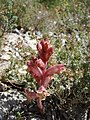 Orobanche alba inflorescence (09).jpg