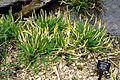Orontium aquaticum - Jenkins Arboretum - DSC00672.JPG