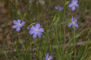 <i>Orthrosanthus</i> genus of plants