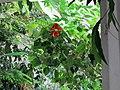Orto botanico, fi, serra calda, hibiscus rosa-sinensis, 02.JPG
