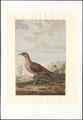 Ortygometra crex - 1779 - Print - Iconographia Zoologica - Special Collections University of Amsterdam - UBA01 IZAA100074.tif