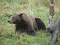 Ours brun (Ursus arctos) (1).jpg
