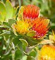 Overberg Pincushion (Leucospermum oleifolium) (32586831140).jpg