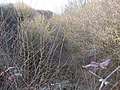 Overgrown railway cutting between Standlynch and Whaddon - geograph.org.uk - 1751139.jpg