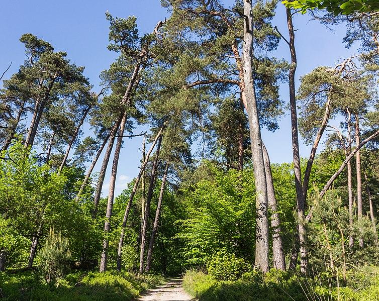 File:Overhangende bomen boven zandweg. Locatie, Kroondomein Het Loo.jpg