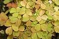 Oxalis siliquosa Sunset Velvet 0zz.jpg