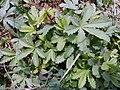 P.reptans-hojas-1.jpg