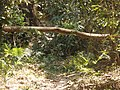 P68 Lawachara National Park, In Moulovibajar, Bangladesh.jpg