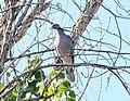 PIGEON, BAND-TAILED (9-20-11) patagonia-sonoita creek preserve, scc, az -01 (6166945489).jpg