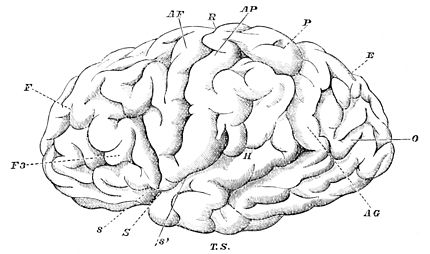 PSM V27 D079 Fissures and convolutions of the human brain.jpg