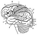 PSM V35 D763 Functional areas of the brain surface.jpg