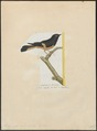 Pachycephala rufiventris - 1700-1880 - Print - Iconographia Zoologica - Special Collections University of Amsterdam - UBA01 IZ16600347.tif