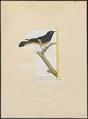 Pachycephala rufiventris - 1700-1880 - Print - Iconographia Zoologica - Special Collections University of Amsterdam - UBA01 IZ16600347.tif