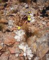 Pachypodium Antanfotsy1.JPG