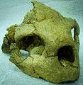 Pacifichelys urbinai -museo historia natural lima.jpg