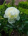Paeonia 'Duchesse de Nemours'. Locatie, De Kruidhof 02.jpg