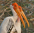Painted Stork (Mycteria leucocephala) in Garapadu, AP W2 IMG 5311.jpg