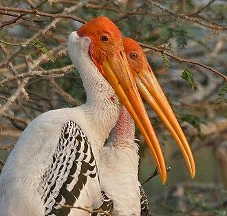 Pulicat Lake Bird Sanctuary - Painted stork (Mycteria leucocephala)