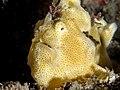 Painted frogfish (Antennarius pictus) (25377309287).jpg