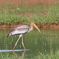 Painted stork juvenile.jpg