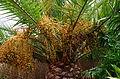 Palmier dattier Oasis Park.jpg