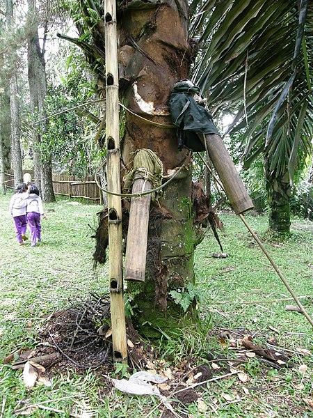 File:Palmsaftgewinnung2.jpg