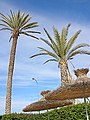 Palmtrees agadir.jpg