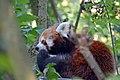 Panda roux (Zoo-Amiens).JPG