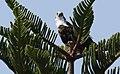 Pandion haliaetus (Osprey) photograph 24.jpg