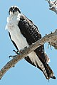 Pandion haliaetus -Sanibel Island, Florida, USA -juvenile-8.jpg