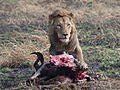 Panther leo feeding wilderbeest Mara Triangle1.JPG
