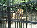Panthera leo. León. Zoológico Simón Bolívar. Costa Rica.JPG