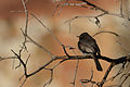 Papamoscas Negro, Black Phoebe, Sayornis nigricans (12889281965).jpg