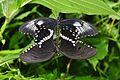 Papilio polytes?, ventral (8381134362).jpg
