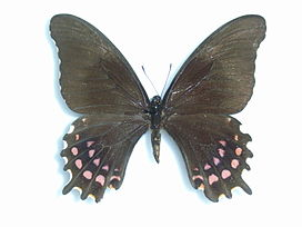 Papilio rogeri pharnaces Doubleday, 1846 Female.JPG