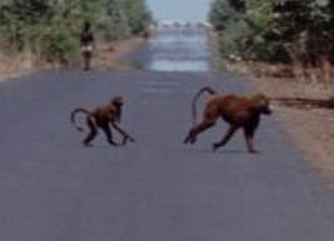 Wildlife of Equatorial Guinea - Guinea baboon