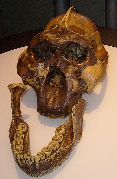 Réplica de un cráneo de Australopithecus boisei, descubierto por Mary Leakey en 1959.