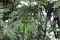 ParaserianthesFalcataria 7170.JPG