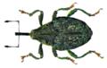 Parethelcus pollinarius (Forster, 1771) (8532708077).png